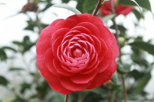 camellia-689823_960_720